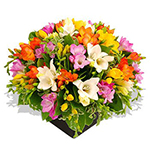 11 colorful freesias