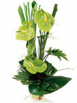 3 Green Anthuriums