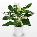 White anthurium in a pot